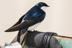 Swallow (mjeedelbr) Tags: swallow tree tachycineta bicolor