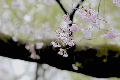 Cherry blossoms in rain (joka2000) Tags: cherryblossom ソメイヨシノ sakura 桜 trunk branch rain inokashira