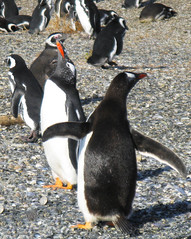 pinguinera (fp76.it) Tags: mpt542 matchpointwinner