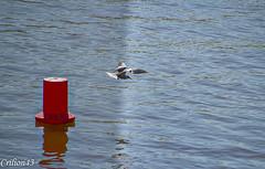 Sterne Pierregarin. (Crilion43) Tags: vichy france oiseaux paysage rivière sternepierrgarin allier auvergne corbeau corneille eau merle pigeon plage