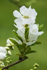 Exochorda Serratifolia (wietsej) Tags: exochorda serratifolia arboretum hetleen eeklo belgium rx10m3 rx10 iii sony flower rx10iii