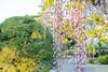 DSC_1642 (sayo-tsu) Tags: 藤 wisteria 牛島のフジ 春日部市 埼玉県 kasukabe saitama 特別天然記念物