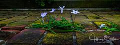 _DSC8445.jpg (jbalfus) Tags: filoli flowers peacock redwoodcity ca sonya7m2 rokinon35mmf14