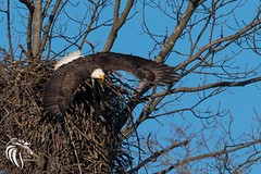 Bald Eagles of Swimming River | 2017 - 4 [EXPLORED] (RGL_Photography) Tags: americanbaldeagle bif baldeagle birds birdsinflight birdsofprey eagle gardenstate godblessamerica haliaeetusleucocephalus jerseyshore monmouthcounty mothernature nature nikond500 nikonafs600mmf4gedvr ornithology raptors wildlife wildlifephotography middletown newjersey unitedstates us swimmingriverreservoir