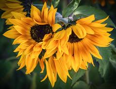 Golden Sunflower (Bryan the Roving Vagabond) Tags: sunflower california socal ca bloom spring usa yellow gold green explore macro garden flower arboretum fullerton