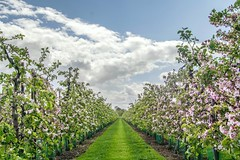 Dutch blossom landscape (marielledevalk) Tags: symmetry clouds sky betuwe nature tree dutch holland trees landscape spring blossom garden