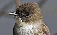 Eastern Phoebe (rumerbob) Tags: easternphoebe phoebe songbird bird birdwatching birdwatcher wildlife nature naturewatcher peacevalleypark lakegalena canon7dmarkii canon100400mmlens