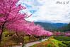 桜の花見@武陵農場 (SU QING YUAN) Tags: a55 1680za variosonnartdt35451680 zeiss sakura flowers flower landscape trees sky tree green