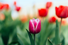 Purple of red (Frostroomhead) Tags: purple red flower flowers tulip tulips nature plants bokeh close up green colors sigma 30mm f14 art nikon d5200 spring april