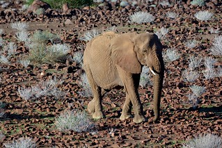 Desert Adapted Elephant - a rare find in Damaraland, Namibia.