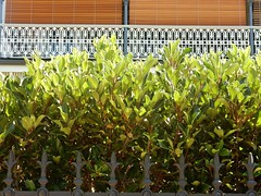 Hedge in Layers (mikecogh) Tags: northadelaide fence layers hedge blinds fleurdelis spires