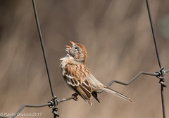 Singing his heart out (rdroniuk) Tags: birds passerines smallbirds sparrows fieldsparrow spizellapusilla oiseaux passereaux bruants bruantdeschamps