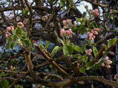 Sonne lässt den Schnee schmelzen (Helmut Reichelt) Tags: apfelblüten schneefall garten aprilwetter april frühling geretsried bayern bavaria deutschland germany panasonic lumix fz200 captureone10 colorefexpro4