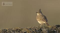 Cogujada común (Galerida cristata) (jsnchezyage) Tags: cogujadacomún galeridacristata ave pájaro fauna naturaleza birding bird