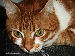 """ momentos"" Chuli 3 (adioslunitaadios) Tags: gato gatocomún pelirrojo mascota animal fujifilm macro chuli"