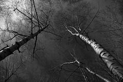 cielo (enrico sprea) Tags: cielo alberi betulle alto zenit bosco rami terzalpe cornidicanzo prealpi lombardia provinciadilecco triangololariano lagodicomo riservanaturalesassomalascarpa bwartaward biancoenero blackandwhite monocromo allaperto pentaxlife sentiero trekking colmadivalravella intreccio luci ombre foresta sole primavera riflessi nuvole canzo gajum valassina boscaglia selva macchia corteccia tronchi fusti verticale
