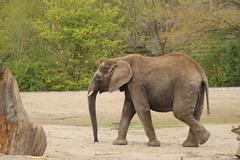 Olifant (Elephant) (ToJoLa) Tags: canon canoneos60d 2017 safaripark beeksebergen voorjaar spring lente animals dieren dierentuin noordbrabant zoo