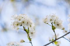 White blossom (Infomastern) Tags: botaniskaträdgården lund blom blomma blossom flower spring vår exif:model=canoneos760d geocountry camera:make=canon geocity camera:model=canoneos760d geostate exif:focallength=200mm geolocation exif:lens=efs18200mmf3556is exif:isospeed=125 exif:aperture=ƒ63 exif:make=canon