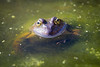 Hello (Thilo Sengupta) Tags: frog water animals canon canoneos80d nice nicepic picoftheday lightroom natur nature