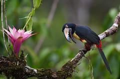 Hello.... (anacm.silva) Tags: collaredaracari aracari ave bird wild wildlife nature natureza naturaleza birds aves bocatapada costarica lagunadellagarto pteroglossustorquatus ngc