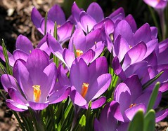 ~ In Patches Of Purple Croci ..... (~ Cindy~) Tags: crocis patches purple yard lawn signs of spring tennessee rockwood march 2017 taken03142017
