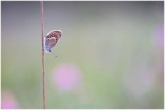 Het heideblauwtje - vrouw  (Plebejus argus, voorheen geschreven als Plebeius argus) (Martha de Jong-Lantink) Tags: 2015 heideblauwtje heideblauwtjevrouwtje judithborremans plebejusargus strijbeekseheide vlinder vlinderreizen vlinderexcursie vlinders
