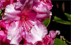 PRETTY IN PINNK ... (Aspenbreeze) Tags: lower flora californiaflora flowers pinkflower bushflower flowerbush bloomingbush aspenbreeze moonandbackphotography bevzuerlein