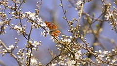 Comma comes to a full stop (Englepip) Tags: polygoniacalbum butterfly insect flower blackthorn sunshine resting comma stop sky dof outdoor spring polesdenlacey englepip