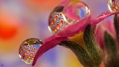 Flower 23.3 (Ⓨᗩsmine Ⓗens +5 000 000 thx❀) Tags: drop flower macro color hensyasmine droplet panasonicdmcgx8