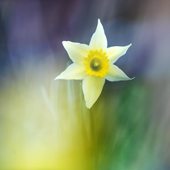 Spring=Color. (look to see) Tags: paasbloem daffodil bokeh color kleur lente spring 300mm 2017 tuin thuis