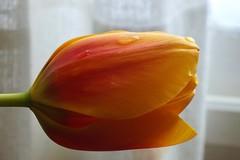 Anaranjado...... (davidgv60) Tags: david60 tulipán amarillo anaranjado macro luz natural ventana interior alcoi españa composición flores flowers fujifilmhs30exr nature plantas vegetal bokeh photodgv