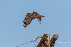 Red-tailed Hawk launch sequence - 2 of 15