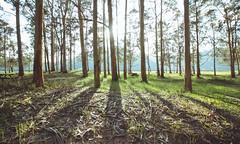 3042 (saul gm) Tags: sun sunlight sol sunny forest eucalyptus trees árboles shadows sombras grass leaves picnic picnicarea green nature light natural villaviciosa rodiles asturias asturies españa spain europe