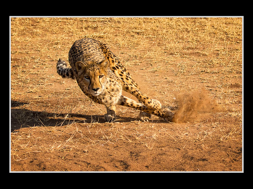 Lean-In Cheetah - by Rick Schoenfield