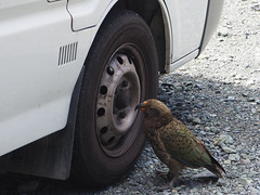 Kea bird, Homer Tunnel to Te Anau New Zealand (Kalpesh Patel.) Tags: milfordsound newzealand southisland homertunnel road natural outstanding beauty epic magic surreal massive fiordland fiordlandnationalpark mountain rockface sky cloud breathtaking glacier snow ice firest bush wildlife flora fauna nature keabird kea parrot