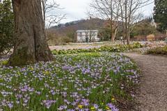 IMG_90 (schaffnerjoggl) Tags: frühling blüten bunt farben hermannshof schausichtungsgarten weinheim deutschland krokus