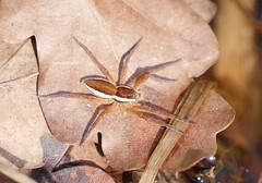 Dolomedes fimbriatus (Phil Arachno) Tags: dolomedes hessen mönchbruch germany pisauridae arthropoda chelicerata