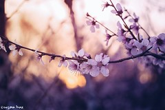 """""""It is spring again. (gusdiaz) Tags: nature flowers blossoms spring peach tree fort mill sc bokeh canon 60mm naturaleza retoños arbol hojas atardecer primavera amanecer sunset sunrise hermoso bokehlicious"""