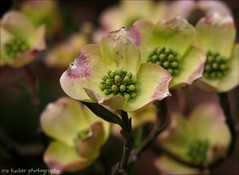 No great artist ever sees things as they really are. If he did.... (itucker, thanks for 2.9+ million views!) Tags: macro bokeh cornus dogwood blossom dogwoodbossom dukegardens