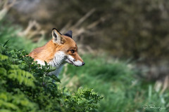 Red Fox (DanRansley) Tags: britain danransleyphotography england greatbritain uk vulpesvulpes animal fox mammal nature wildlife