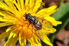 Ferdinandea cuprea (AglaiaBouma) Tags: fly vlieg zweefvlieg syrphidae kopermantel diptera entomology nature macro insect
