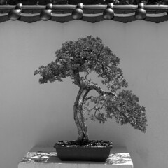 Bonsai pine tree (Tim Ravenscroft) Tags: bonsai pine morikami florida monochrome blackwhite