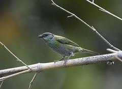 Colombia. (richard.mcmanus.) Tags: colombia rainforest bird tanager blackcappedtanager mcmanus tropics southamerica wildlife