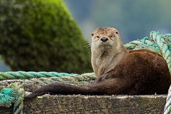"Awake (r) (Blingsister-Melanie) Tags: leeson wildlife photographycanoncanon 7d mark iicanon ef100400mm f4556l is ii usm 14x iiisouthern vancouver islandnature photography otter ""wild otter"" what going with tags flickr"""