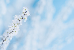 Rise up into the sky [Explored 19.04.2017] (marcmyr) Tags: warm peaceful spring frühling blossom blooms blüte natur nature april bokeh dof depth field soft nikon d5200 nikkor 50mm f18