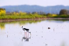 Cavalieri in risaia (STE) Tags: cavalieri cavaliere ditalia bird birds himantopus risaia water blackwinged stilt common pied 300f4afs stilts