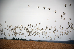 Snow Geese over Corn Field (PhotonPirate) Tags: snow geese corn field upstateny ny cortland fingerlakes birds nature migration chen caerulescens
