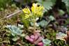 Broadleaf Stonecrop (psychostretch) Tags: broadleafstonecrop columbiarivergorge flower plant sedumspathulifolium stonecrop