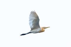 The graceful flier... (chandra.nitin) Tags: animal bif bird cattleegret egret highkey nature newdelhi delhi india