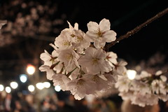 IMG_6416 Maruyama Koen (drayy) Tags: kyoto japan gion temple kiyomizudera maruyamakoen park sakura cherryblossoms 日本 京都 清水寺 円山公園 花見 桜